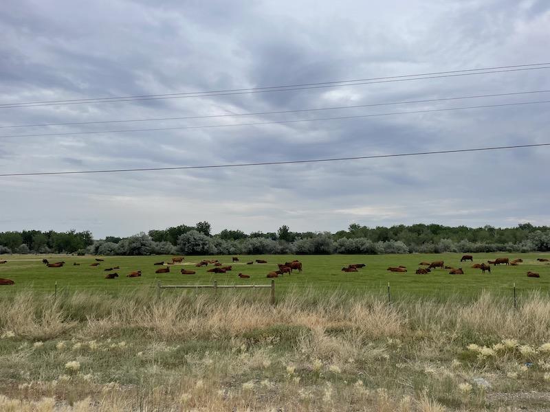 Name:  Montana Cows.jpeg Views: 231 Size:  132.9 KB