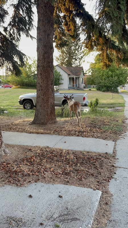 Name:  Red Lodge Deer.JPG Views: 227 Size:  218.5 KB